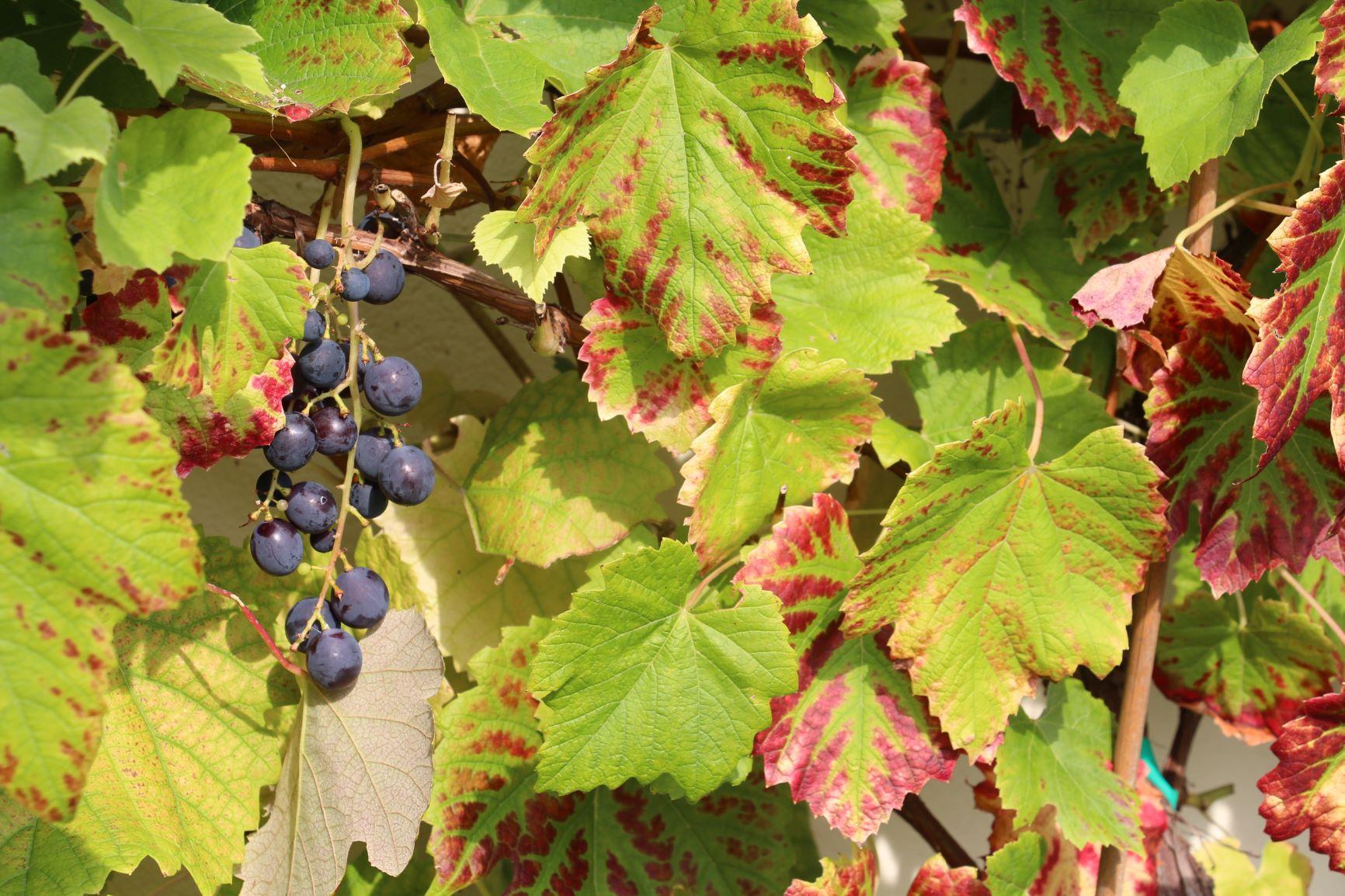 Herbst – Trauben in Gersbach